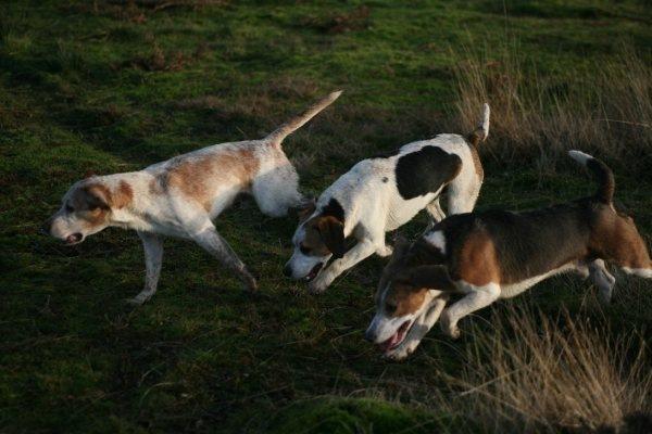 Beagle hunting - photo#4